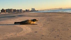 Woman spots seal basking in morning sun on beach in Ventnor