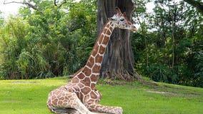 Pongo the giraffe euthanized at Zoo Miami