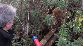 Animal officer rescues dog found clinging to log in alligator-filled swamp