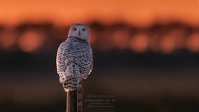 Search for elusive snowy owl takes wildlife photographer to Maryland's Assateague Island