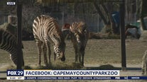 New Grant's Zebra makes debut at Cape May County Park and Zoo
