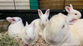 47 rabbits rescued from unsanitary conditions in Lancaster County, Pa. SPCA says