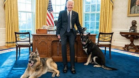 A good boy again: Biden's dog will return to the White House
