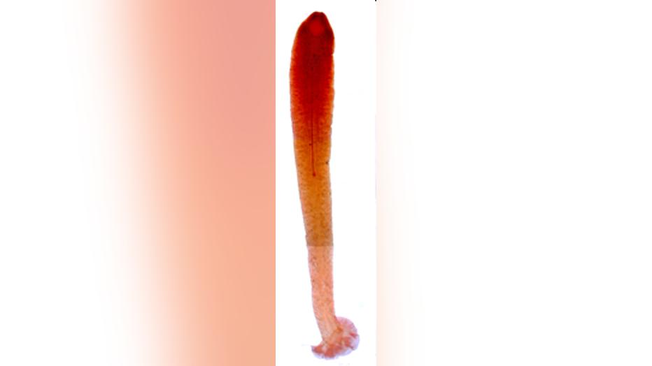 Gyrocotyle-haffii.png
