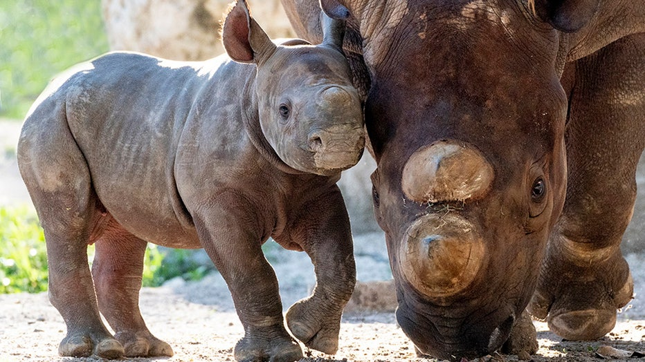 zoo-miami-baby-rhino-4.jpg