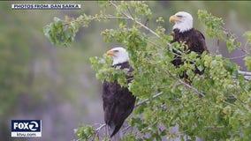 Wildlife officials investigate possible drone crash into bald eagle nest in Fremont