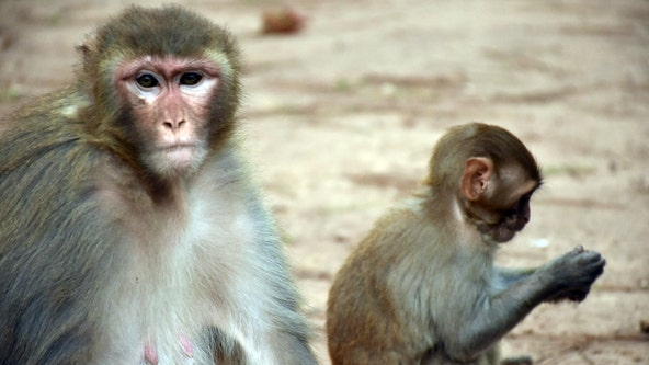 Part human, part monkey: Scientists engineer hybrid embryo in effort to grow organs