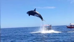 Viral video shows orca's stunning leap during dramatic dolphin hunt
