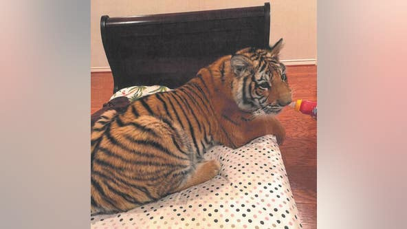 FOUND: Missing tiger seen roaming west Houston safely located