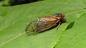 Don't eat cicadas if you are allergic to shrimp, shellfish, FDA warns