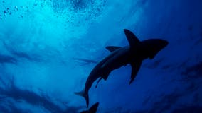 Sharks nearly went extinct 19 million years ago, study mysteriously finds
