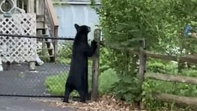 Police: Bear spotted in Perkasie Borough may have been hit by car, injured