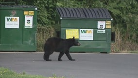 Bear spotted roaming in Bucks County has been captured