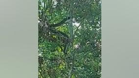 Louisiana farmer mistakes massive snake for 'tree branch'
