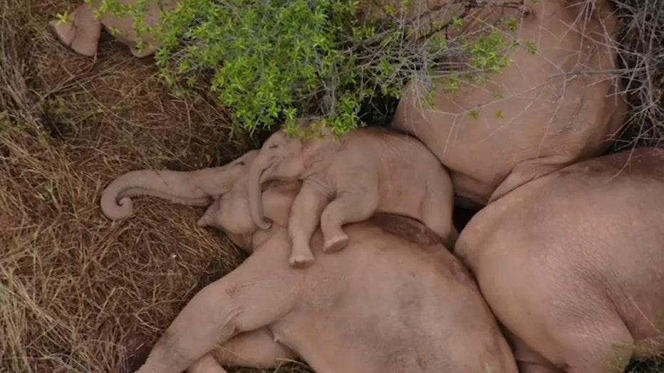 Sleeping elephants1