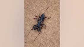 Acid-shooting 'spider-scorpion' found in Texas park creeps out social media