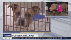 Fostering a Philadelphia pet