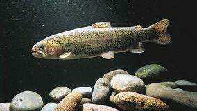 Meth addiction in fish poses threat to ecosystem balance, study says