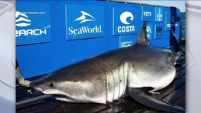 Great white shark, Breton, tracked off coast of Cape May by researchers