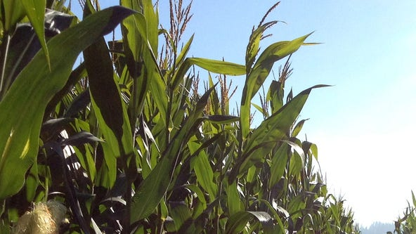 So hot in Iowa even the corn is sweating, making for oppressive humidity levels