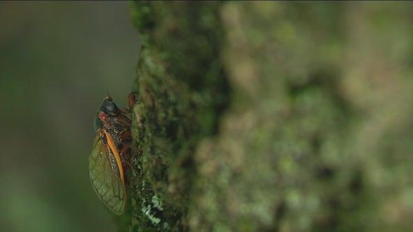 Cicadas make a comeback for mating season