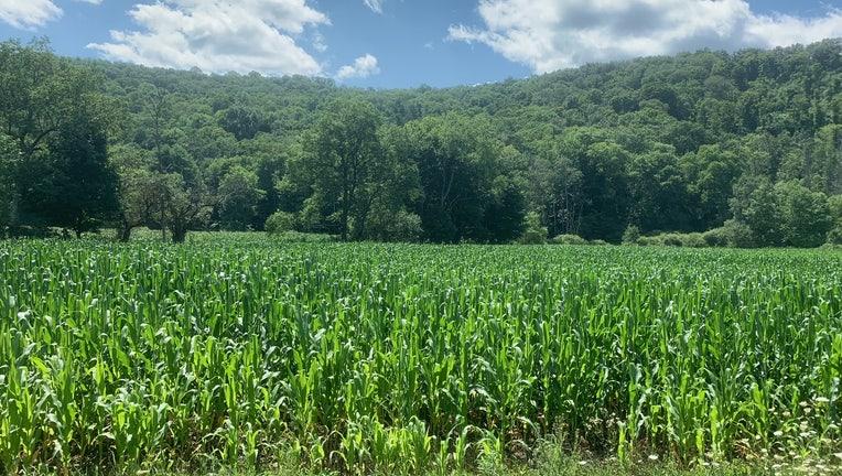 An upstate New York corn field on July 28, 2021.