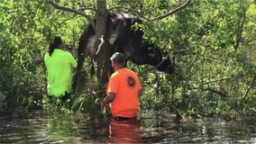 Cow wedged in tree from flooding caused by Hurricane Ida
