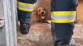 Dog rescued by firefighters after getting head stuck in iron door