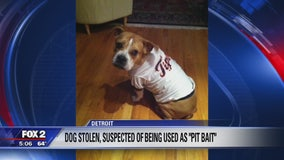 Dog stolen then returned, suspected of being used as 'bait' for dog fighting