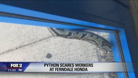 Python found slithering outside Ferndale car dealership
