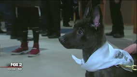 Sterling Heights PD swears in new K9 officer - a puppy named Ivy