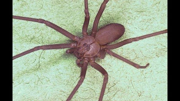 0e547d32-Brown_recluse_spider,_Loxosceles_reclusa_1493406274951.jpg