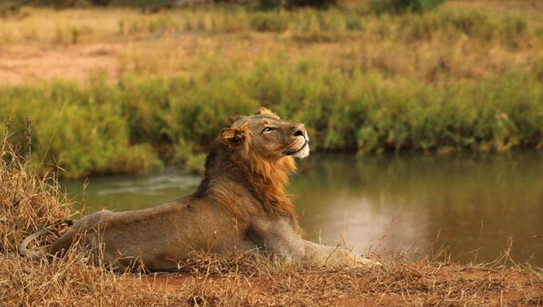 lion getty image 61291395_1518535567013