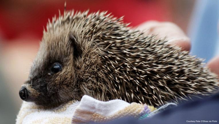Hedgehog photo by Pete O'Shea via Flickr-404023