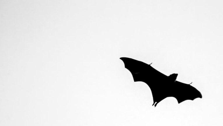 d4501dff-bat via flickr_1516042304426.JPG.jpg