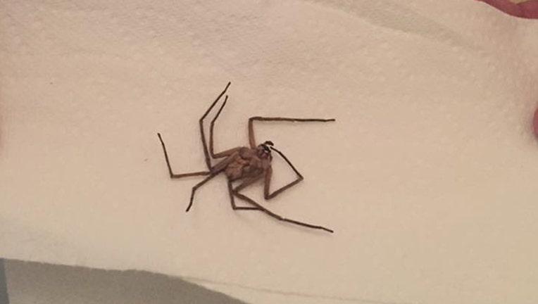 dead huntsman spider_1496341930309.jpg