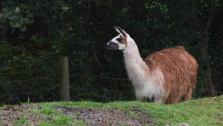 getty-llama-021919_1550588784379.jpg