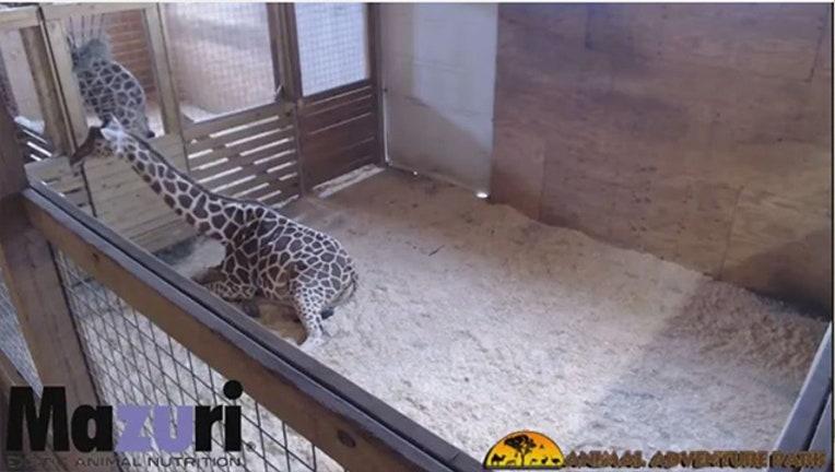 giraffe_1487793962869-403440.JPG