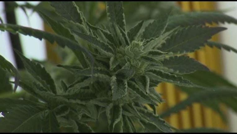 marijuana plant_1496247779055.JPG