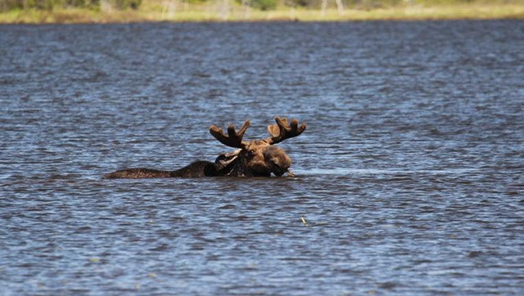 4b1af4fa-moose-bkgd_1492539365150.jpg