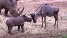 Fearless baby rhino squares up with other animals in hilarious first encounter at Netherlands zoo