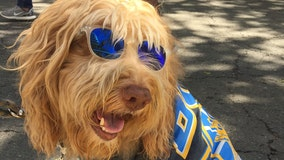 'I've created a monster': Labradoodle inventor calls the breed his 'big regret'