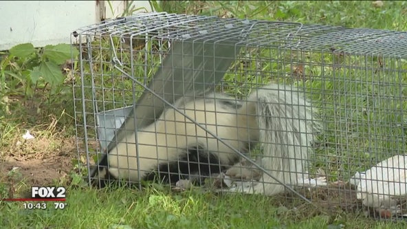 Trapping and relocating a skunk (legally!) without getting sprayed