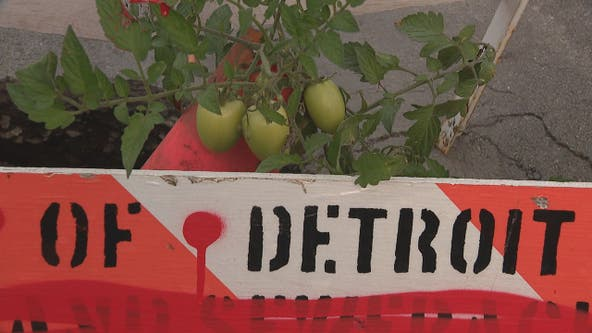 Tomato plant growing out of pothole in Corktown