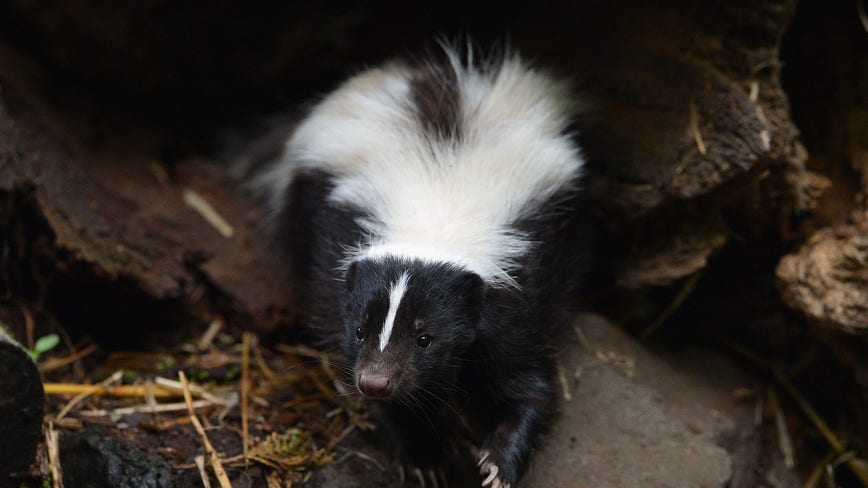Rabies found in dead skunk in West Bloomfield: health officials