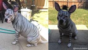 'The cutest zebra': American Bully dog in creative Halloween costume steals internet's hearts