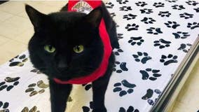 Missing black cat in red onsie on feeding tube goes missing from Livonia animal hospital