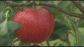 Mich. company recalling apples for potential listeria contamination