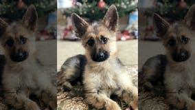 German shepherd stuck in 'perpetual puppyhood' due to rare genetic condition