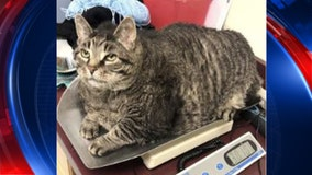 30-pound cat needs home, help with diet says Michigan Humane Society